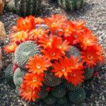 Kaktus mit roten Blüten