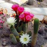 Kaktus mit violett und weissen lüten