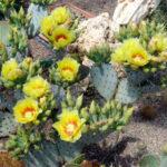 Kaktus mit gelben Blüten