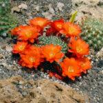 Kaktus mit orangen Blüten