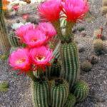 Kaktus mit violetten Blüten
